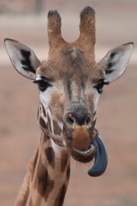 Giraffe_sticking_out_tongue